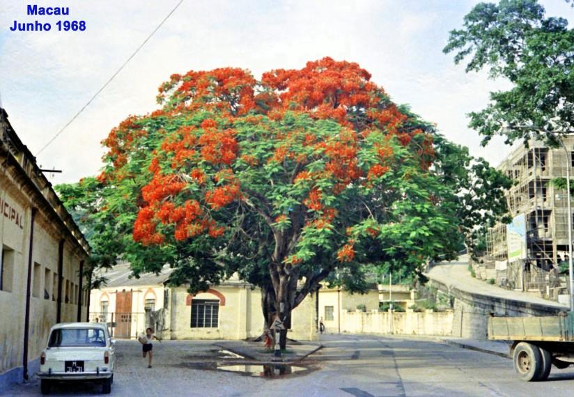 112 68-06 uma árvore de Macau