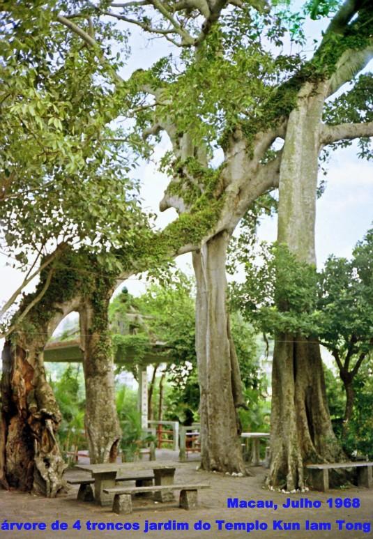181 68-07 a árvore de 4 troncos do jardim de Kun Iam Tong