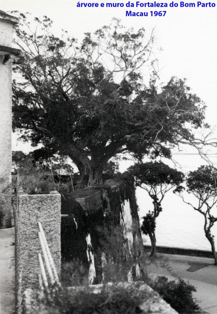 200 67 árvore e muro da Fortaleza do Bom Parto